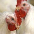 Poultry-industry
